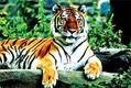 Plan to translocate Assam tigers to West Bengal