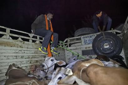 Amnesty criticises attacks by cow vigilantes, threat to journalists