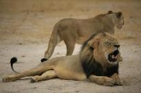 Hunters fight back after Cecil killing