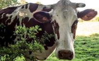 Indian farming minister blasts 'loose moral character' of imported bulls