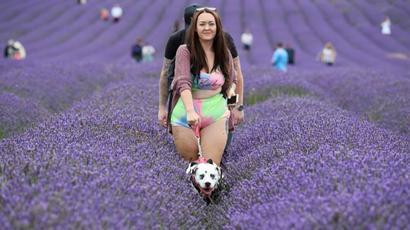 In pics   Lavender field in Britain draw selfie-seeking visitors