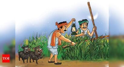 Pig terror keeps farmers at Chhota Udepur awake at night