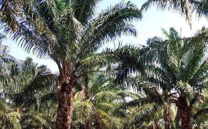 Oil palm industry pegs 7 lakh acres of crop potential in Telangana