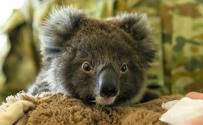 Koalas May Be Extinct In Australia's New South Wales By 2050