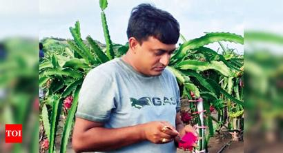 Gujarat: Dragon fruits are juicy delight for farmers