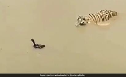 Clever Duck Trolls Tiger In Viral Video. Big Cat's Reaction Is Hilarious