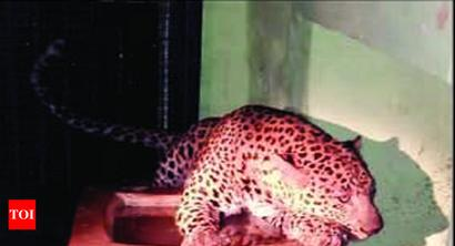 Leopard from wild strays into BBP rehab centre